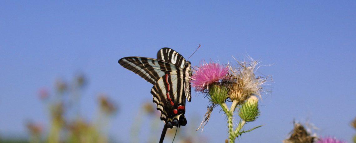 Captive Breeding & Release Of Butterflies