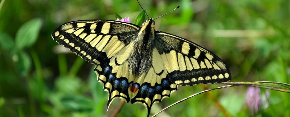 What Are Swallowtails & Birdwings?