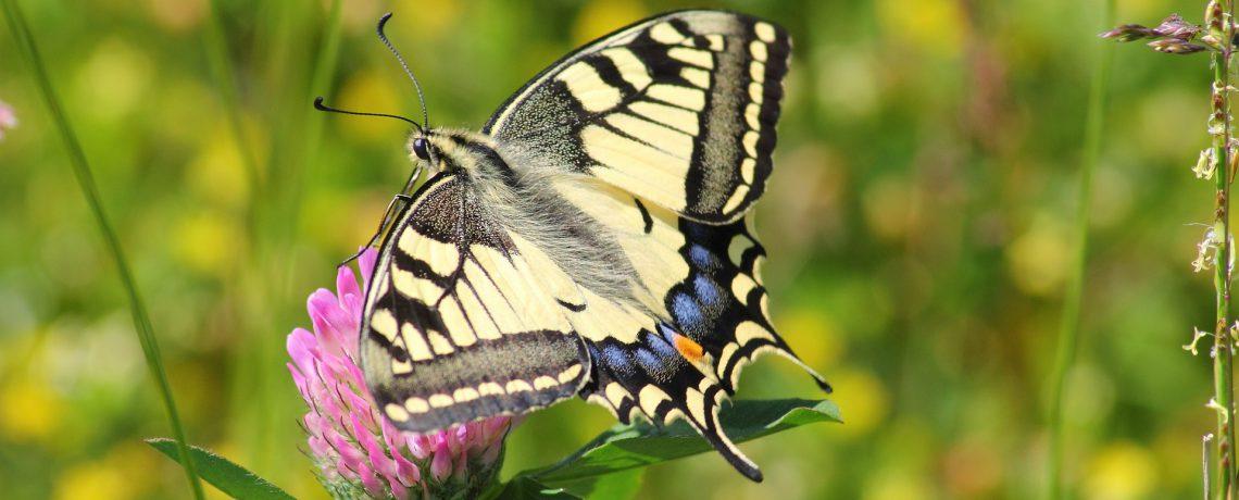 British Swallowtail