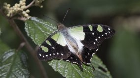 Macleay's Swallowtail