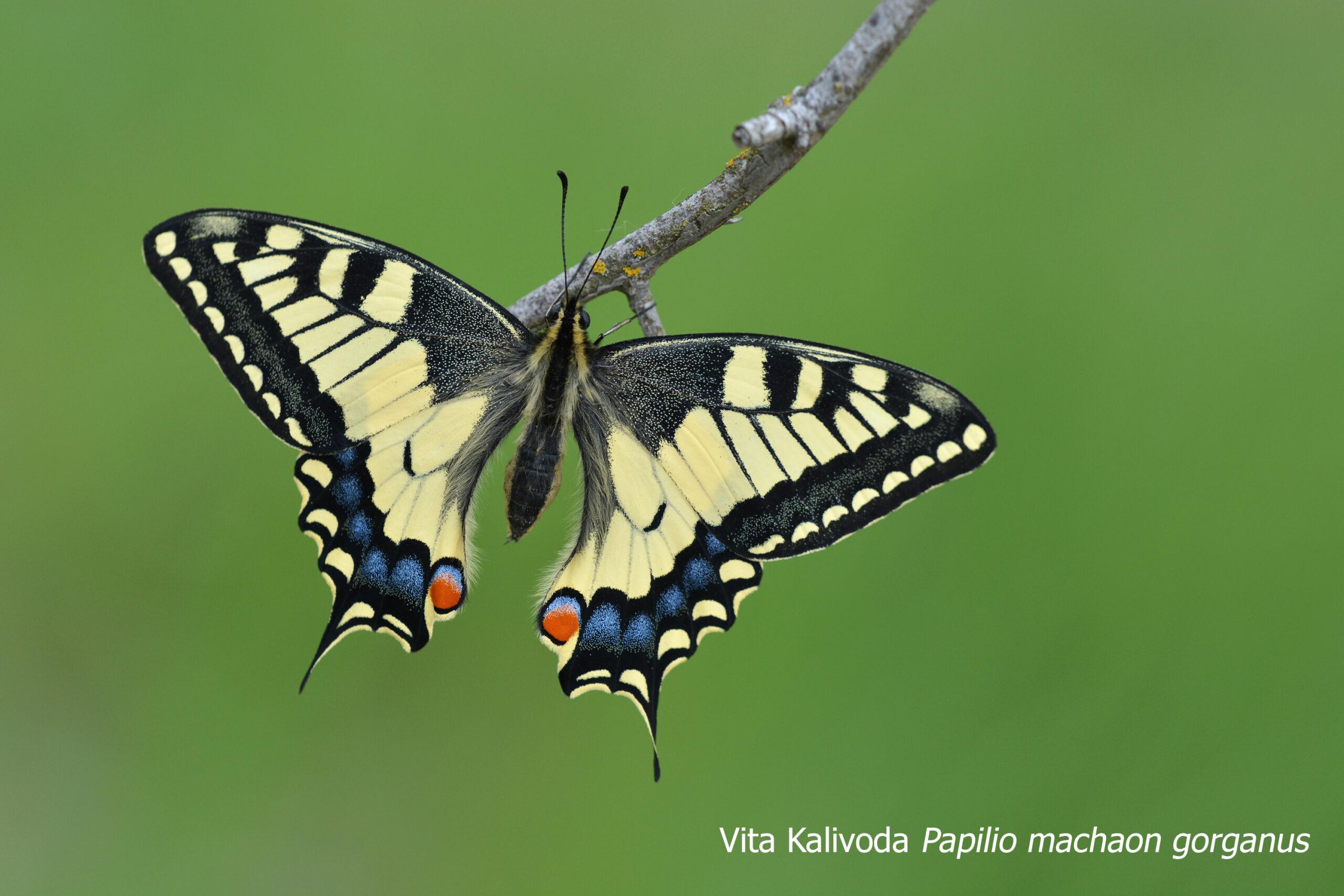 Papilio Machaon Gorganus Ex Bred France